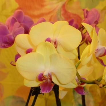 Planters_Orchid_Plant_Lougheed_Flowers_Florist_Sudbury