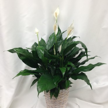 Planters_PeaceLily_Lougheed_Flowers_Florist_Sudbury
