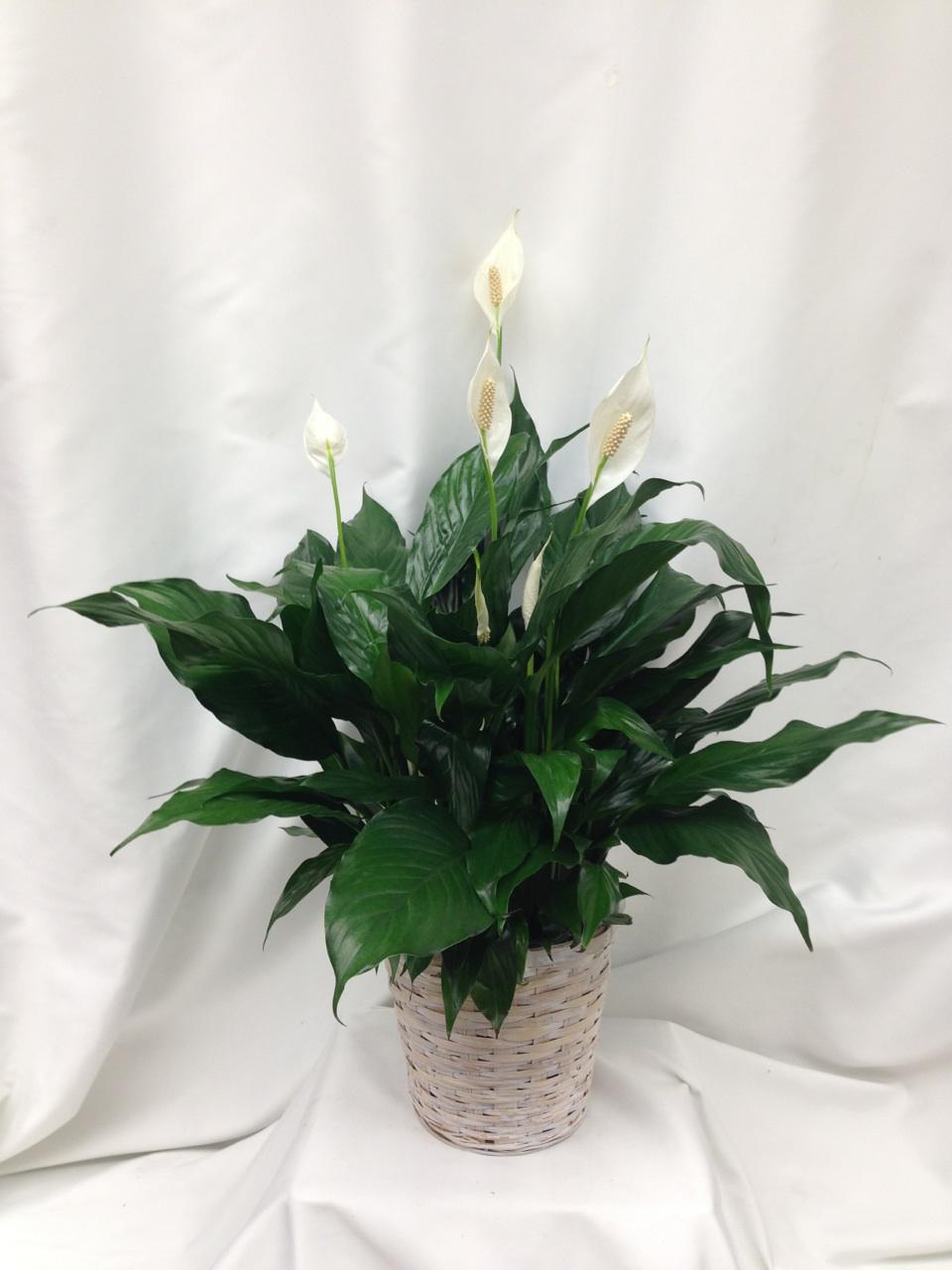 Peace lily basket sudbury flower delivery l lougheed flowers l planterspeacelilylougheedflowersfloristsudbury izmirmasajfo
