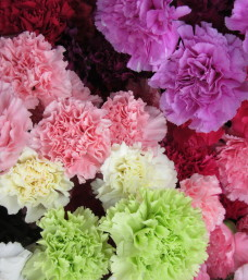 Loose Cut Carnations